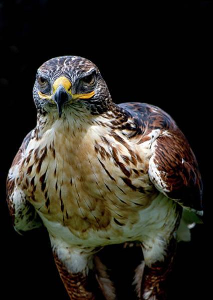 Photograph - Hawk Portrait  by Cliff Norton