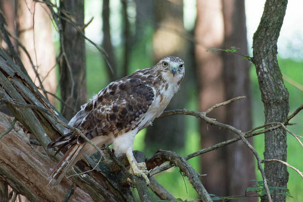 Photograph - Hawk Portrait by John Benedict