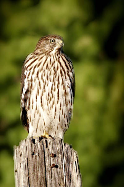 Photograph - Hawk Waiting For Prey by Christine Till
