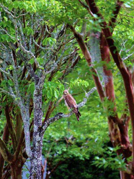 Photograph - Hawk Watching by Cynthia Guinn