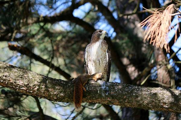 Photograph - Hawk With Squirrel  by Christy Pooschke