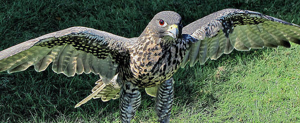 Photograph - Hawk With Wings Spread by Bob Slitzan