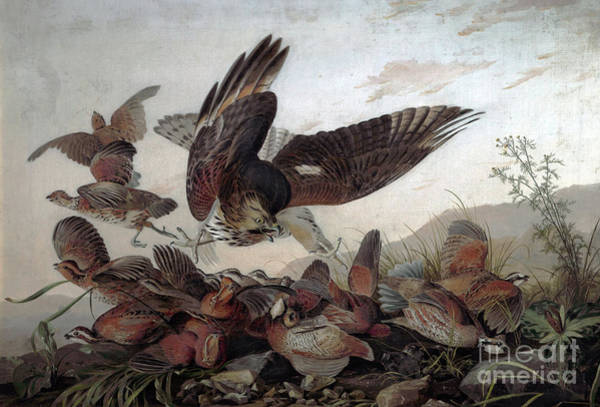 Wall Art - Painting - Hawks Attacking Partridges by John James Audubon