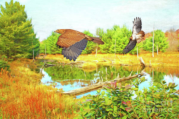 Beaver Pond Wall Art - Photograph - Hawks On The Prowl by Laura D Young