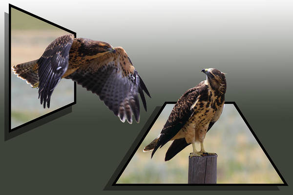 Photograph - Hawks by Shane Bechler