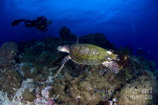 Hawksbill Turtle Photograph - Hawksbill Turtle Swimming With Diver by Steve Jones