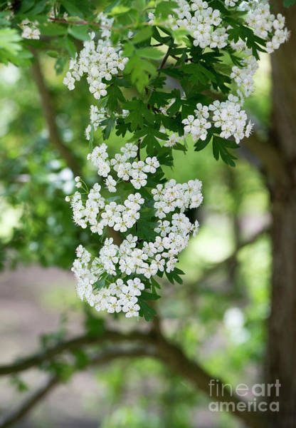 Wall Art - Photograph - Hawthorn Blossom by Tim Gainey