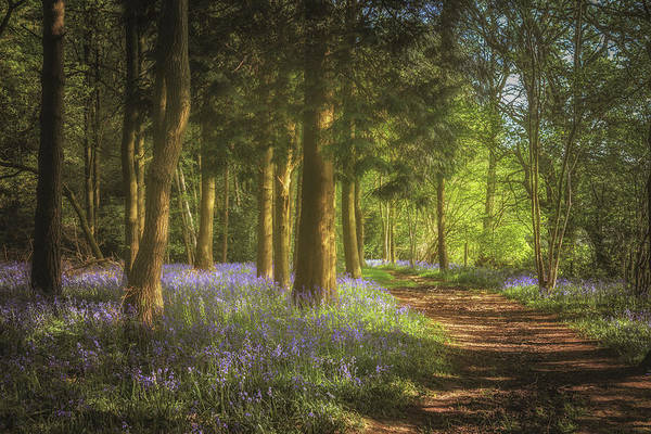 Bluebell Photograph - Hay Wood Bluebells 3 by Chris Fletcher