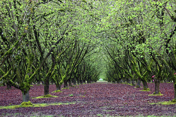 Wall Art - Photograph - Hazel Nut Orchard by Kami McKeon