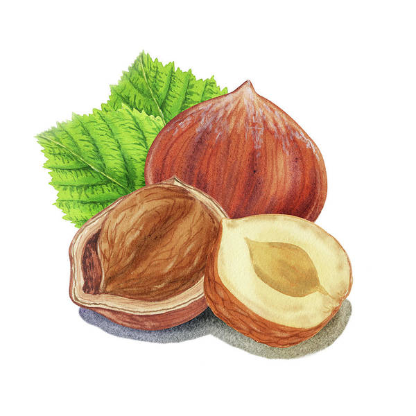 Painting - Hazelnut Watercolor Food Illustration by Irina Sztukowski