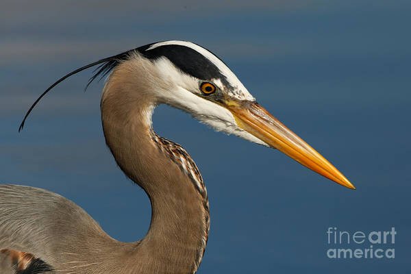Head Of A Great Blue Heron Art Print
