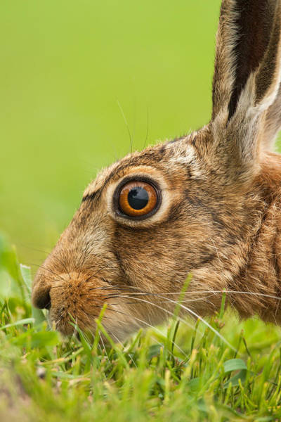 Photograph - Head Of Hare by Simon Litten