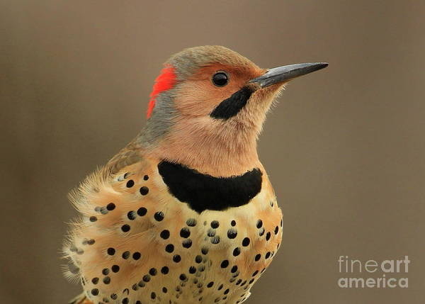 Northern Flicker Photograph - Head Shot by Gail Huddle