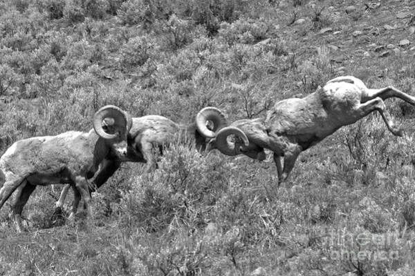 Photograph - Head To Head At Yellowstone 2018 Black And White by Adam Jewell