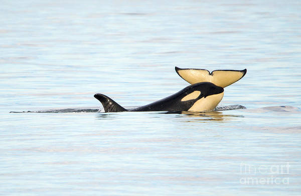 Killer Whales Wall Art - Photograph - Heads Or Tails by Mike Dawson