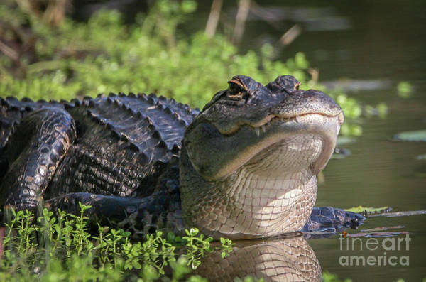 Art Print featuring the photograph Heads-up Gator by Tom Claud