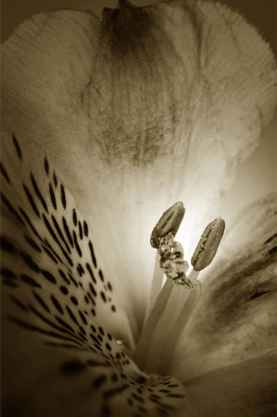 Alstroemeria Photograph - Heart And Soul Of Alstroemeria  by Terence Davis