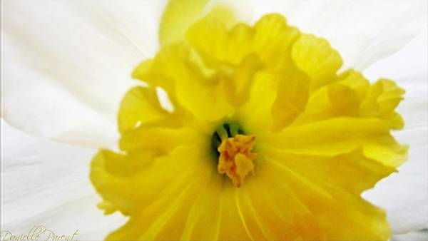 Painting - Heart Of A Daffodil  by Danielle  Parent