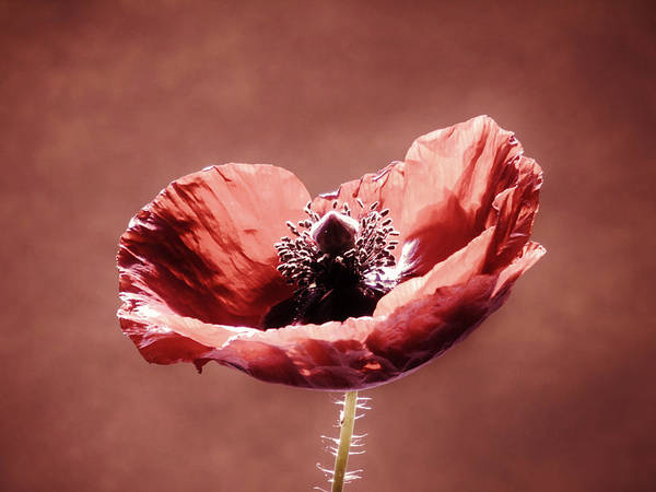 Photograph - Heart Of A Poppy by Barbara St Jean