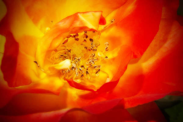 Photograph - Heart Of A Rose by Barry Jones