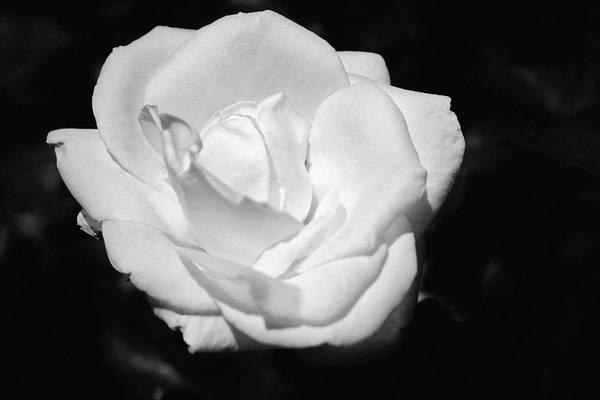 Photograph - Heart Petal White Rose by Cynthia Guinn