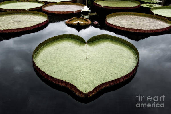 Lillypad Photograph - Heart Shaped Lily Pad by Tom Gari Gallery-Three-Photography