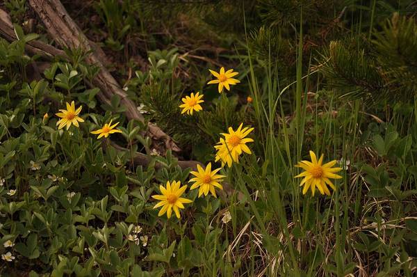 Photograph - Heartleaf Arnica by Frank Madia