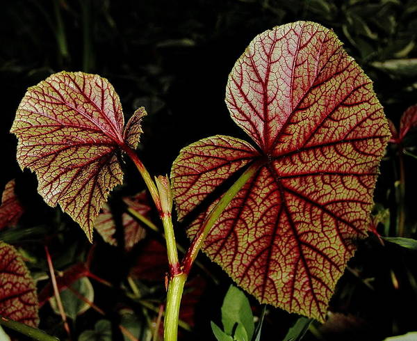 Photograph - Hearty Begonia Backside by Allen Nice-Webb