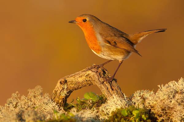 Photograph - Heathland Robin by Simon Litten