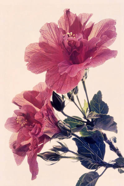 Photograph - Heavenly Hibiscus by Leda Robertson