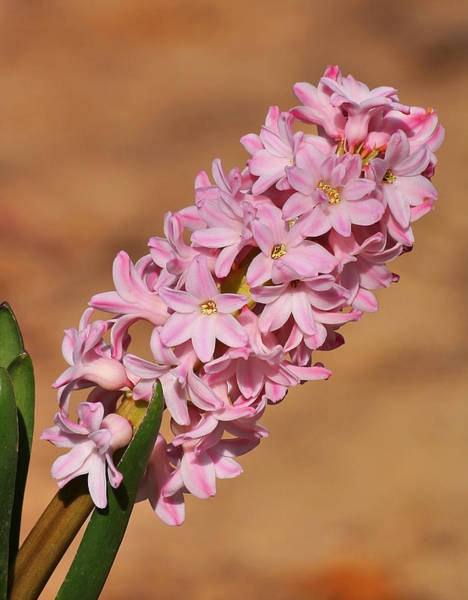Photograph - Heavenly Hyacinth by Sheila Brown