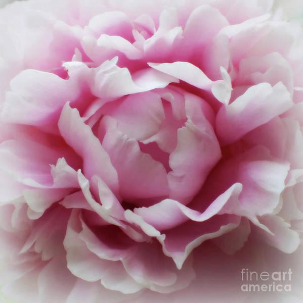 Wall Art - Photograph - Heavenly Pink Peony by Carol Groenen