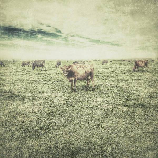 Photograph - Cows by Tricia Elliott