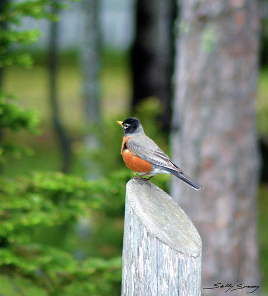 Photograph - Heavy Bellied Robin by Sally Sperry