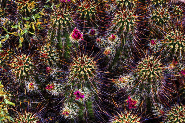 Photograph - Hedgehog Cactus In Bloom by Roger Passman