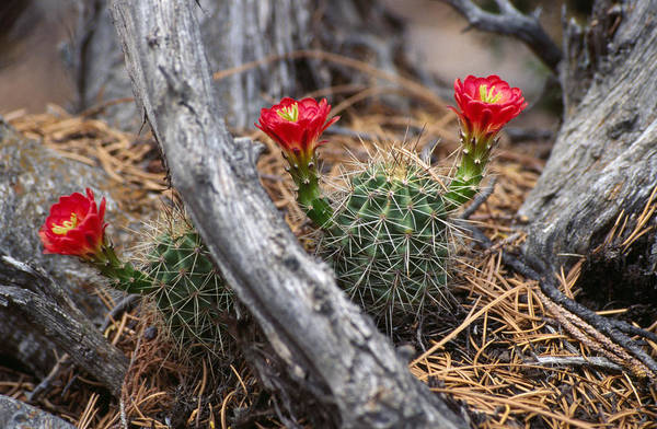 Hedgehog Photograph - Hedgehog Cactus In Bloom by Panoramic Images
