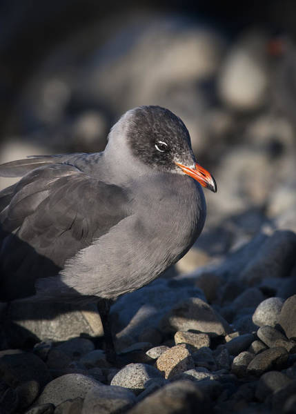 Photograph - Heermann's Gull by Robert Potts