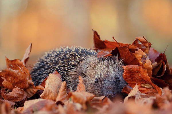Wall Art - Photograph - Hedgehog Hiding by Roeselien Raimond