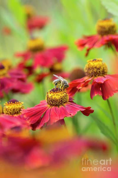 Photograph - Helenium Moerheim Beauty And Honey Bee by Tim Gainey