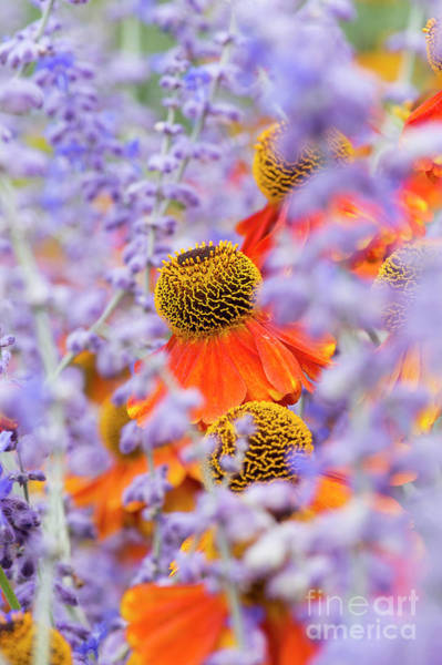 Purple Sage Photograph - Helenium Sahins Early Flowerer by Tim Gainey