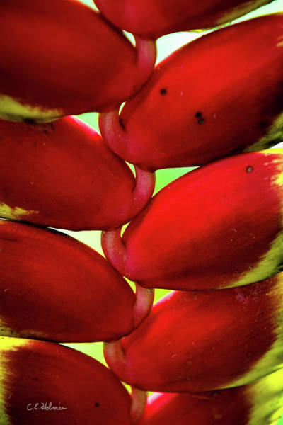 Photograph - Heliconia Detail by Christopher Holmes