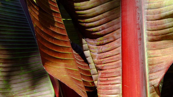 Photograph - Heliconia Lines by August Timmermans