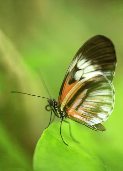 Wall Art - Photograph - Heliconius Melpomene Butterfly by Iris Richardson