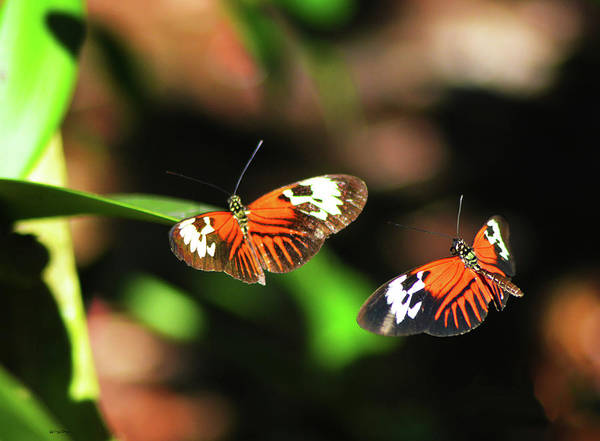 Photograph - Heliconius Melpomene by Sally Sperry
