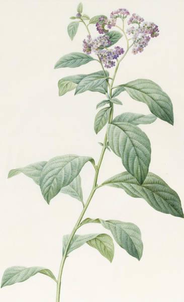 Decorative Drawing - Heliotropium Corymbosurn by Pierre Joseph Redoute