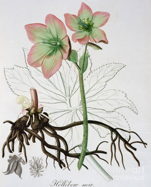 Wall Art - Drawing - Helleborus Niger, Commonly Called Christmas Rose Or Black Hellebore, by LFJ Hoquart