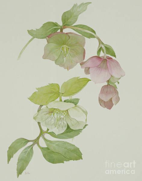 Perennial Painting - Helleborus Orientalio And Helleborus Niger by Sarah Cresswell