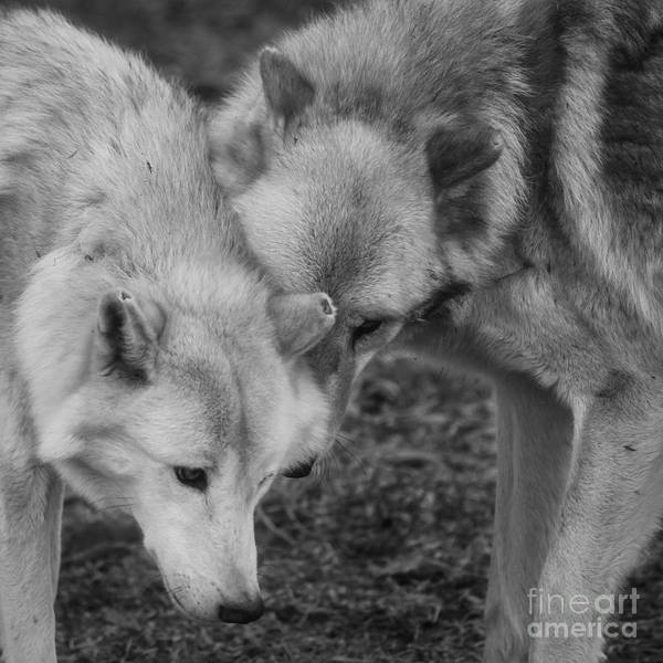 White Wolf Photograph - Hello by Ana V Ramirez