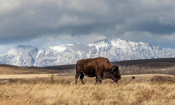 Photograph - Hello Bison by Fran Riley