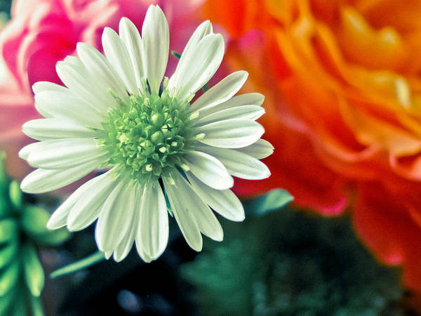 Wall Art - Photograph - Hello Daisy by Colleen Kammerer